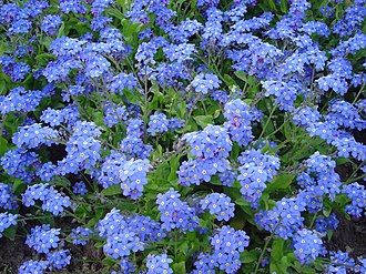 National Grandparents Day - Forget-me-not