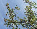 Mystroxylon aethiopicum subsp burkeanum, loof en vrugte, Bronberg, b.jpg