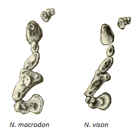 A pen-and-ink drawing of the upper teeth of a sea mink on the left, and that of an American mink on the right. The teeth of the sea mink are slightly but noticeably larger than that of the American mink.