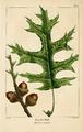 NAS-025 Quercus coccinea.png