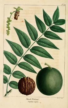 https://upload.wikimedia.org/wikipedia/commons/thumb/7/73/NAS-030_Juglans_nigra.png/220px-NAS-030_Juglans_nigra.png
