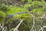 NASA Kennedy Wildlife - Alligator (4).jpg