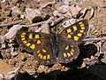 NZ Glade copper butterfly, female 01.JPG