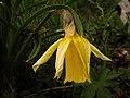 Narciso bicolor - Flores de los Pirineos (10510653336).jpg