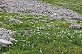 Narcissus radiiflorus (14291677886).jpg