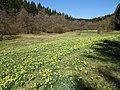 Narzissenwiese im Perlbachtal Eifel.jpg