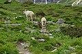 Nationalpark Hohe Tauern - Gletscherweg Innergschlöß - 62 - Saanen-Ziegenböcke beim Abendspaziergang.jpg