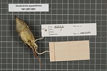 Центр биоразнообразия Naturalis - RMNH.AVES.133564 2 - Oculocincta squamifrons (Sharpe, 1892) - Zosteropidae - образец кожи птицы.jpeg