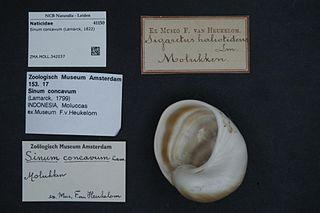 <i>Sinum concavum</i> Species of gastropod