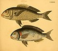 Naturgeschichte in Bildern mit erläuterndem Text (Taf. LXXXIX) (6058673063).jpg