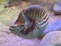 Nautilus pompilius.jpg