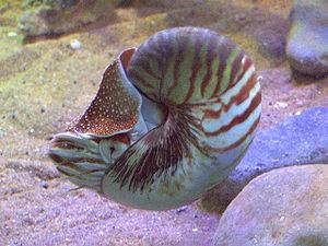 Nautilus (genus) - A live Nautilus pompilius in an aquarium