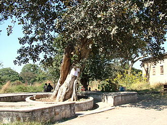 Ndola - The Mukuyu Slave Tree (in Ndola, Zambia