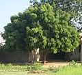 Neem tree (5482124194).jpg