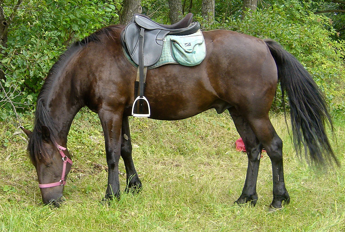 cheval de trait limousin