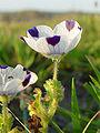 Nemophila pedunculata 000.jpg