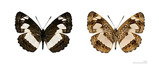 <i>Neptis</i> Genus of brush-footed butterflies