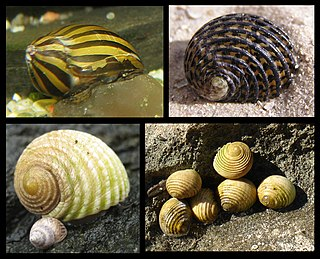 Neritimorpha Subclass of gastropods