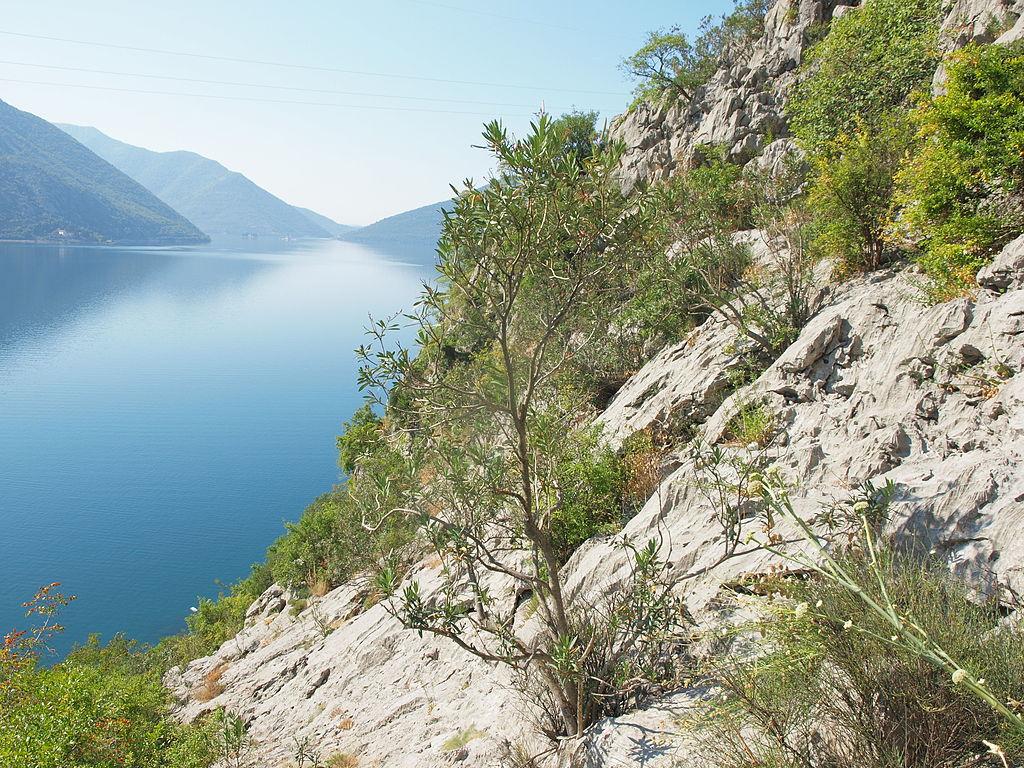 Nerium-oleandri association Bay of Risan