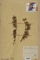 Neuchâtel Herbarium - Larix decidua - NEU000003676.tif