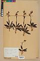 Neuchâtel Herbarium - Ophrys sphegodes - NEU000047893.jpg