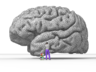 La interpreto de Nicolas P. Rougier de la homa brain.png