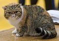 chat couleur écaille de tortue