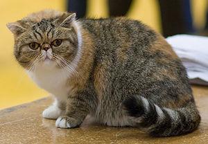 Mèo Lông Ngắn Ba Tư Wikipedia Tiếng Việt