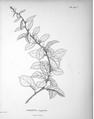 Noisettia frangulaefolia.png