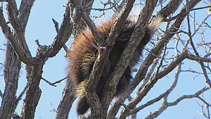 North American Porcupine, sleeping in tree.jpg