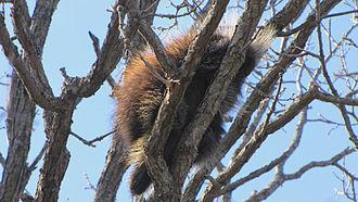North American porcupine - E. d. dorsatum, resting in a tree, Ottawa, Ontario