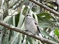 Northern Mockingbird from front.JPG