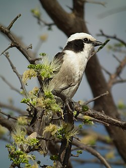 Northern White-crowned Shrike Eurocephalus ruepelli in Tanzania 0935 Nevit.jpg