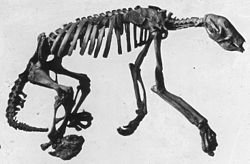 Nothrotheriops skeleton.jpg