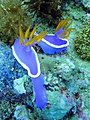 Nudibranch on Chocolate Island.jpg