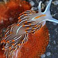 Nudibranchia (3560037731).jpg