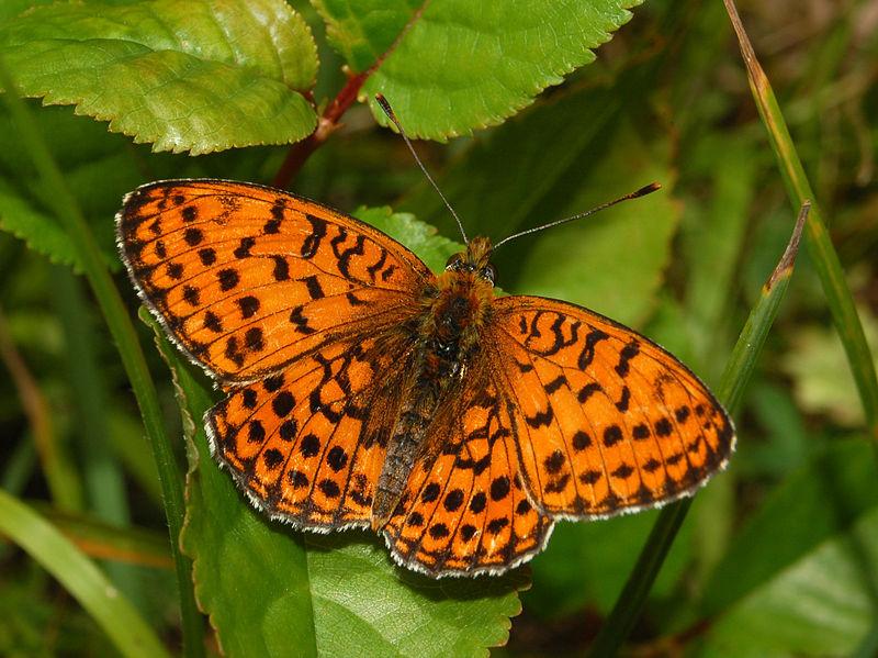 Nymphalidae - Brenthis hecate-001.JPG
