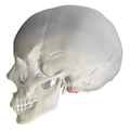 Occipital condyle07.png