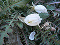 Oenothera cavernae 3.jpg
