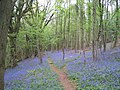 Offa's Dyke Path through bluebells in Highbury Wood - geograph.org.uk - 167345.jpg