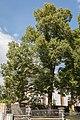 Offenbach Dreikaiserlinde.jpg