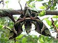 Oleander Hawk Moth.jpg