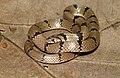 Oligodon arnensis-Common kukri snake.jpg