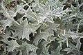 Onopordum acanthium-3429.jpg