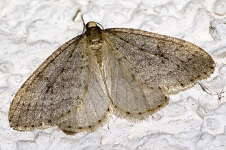 Population ecology - Operophtera brumata (Winter moth) populations are geometric.
