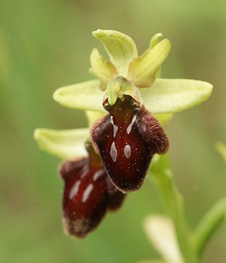 Alkane - Early spider orchid (Ophrys sphegodes)