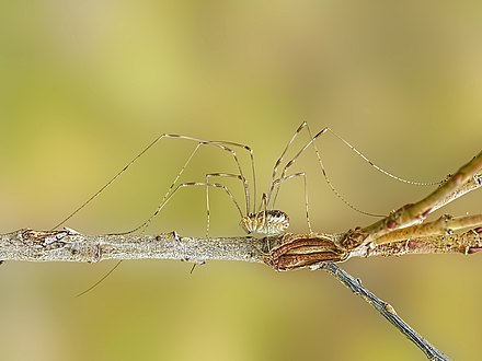 A male Phalangium opilio, showing the long legs and the tarsomeres (the many small segments making up the end of each leg) Opiliones.jpg