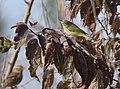 Orange-crowned Warbler (45617990702).jpg