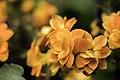 Orange Calandiva Kalanchoe Blossfeldiana.jpg