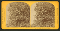 Orange tree on Stowe Estate, from Robert N. Dennis collection of stereoscopic views 2.png